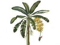 Essay on banana tree in kannada language
